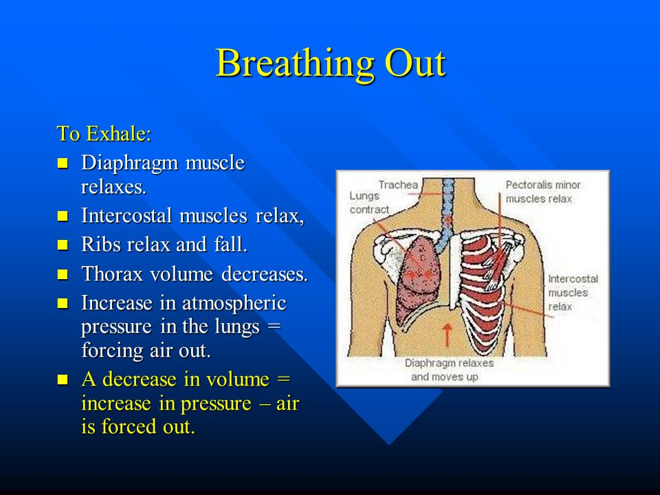 Breathing Out To Exhale: Diaphragm muscle relaxes.