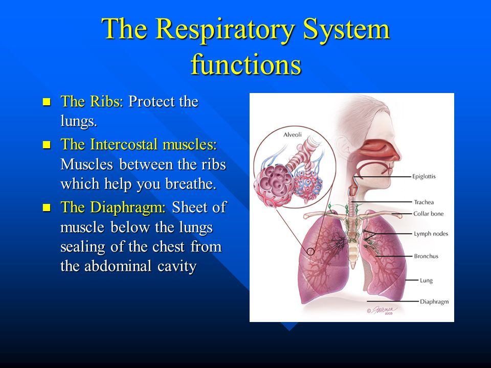 The Respiratory System functions