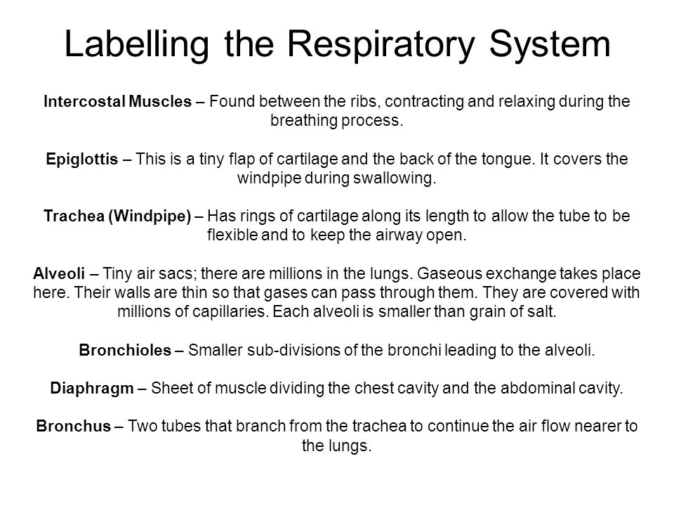 Labelling the Respiratory System