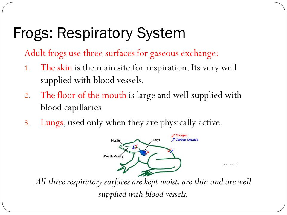Frogs: Respiratory System