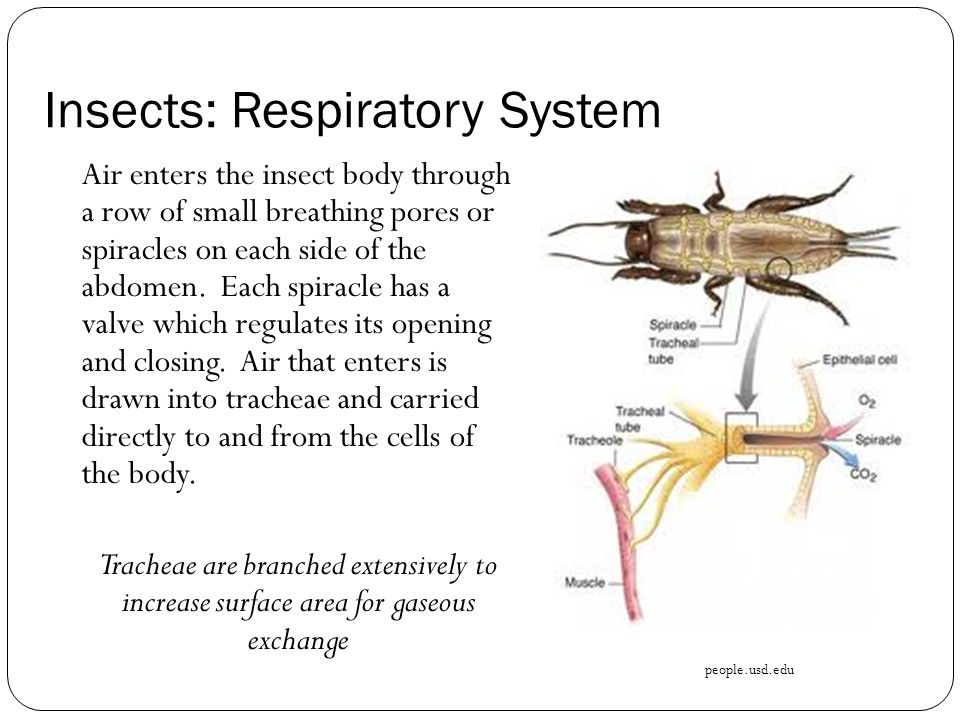 Insects: Respiratory System