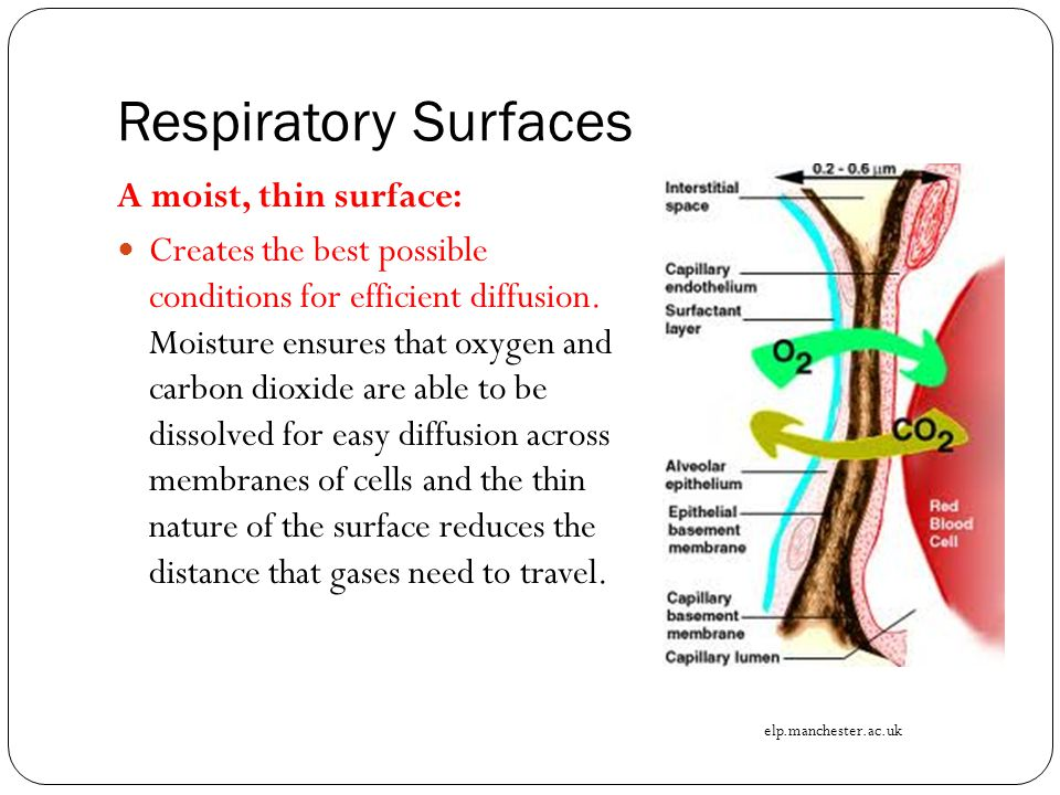 Respiratory Surfaces A moist, thin surface: