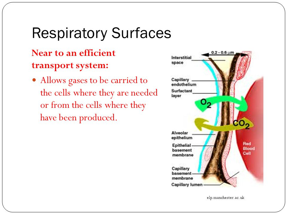 Respiratory Surfaces Near to an efficient transport system: