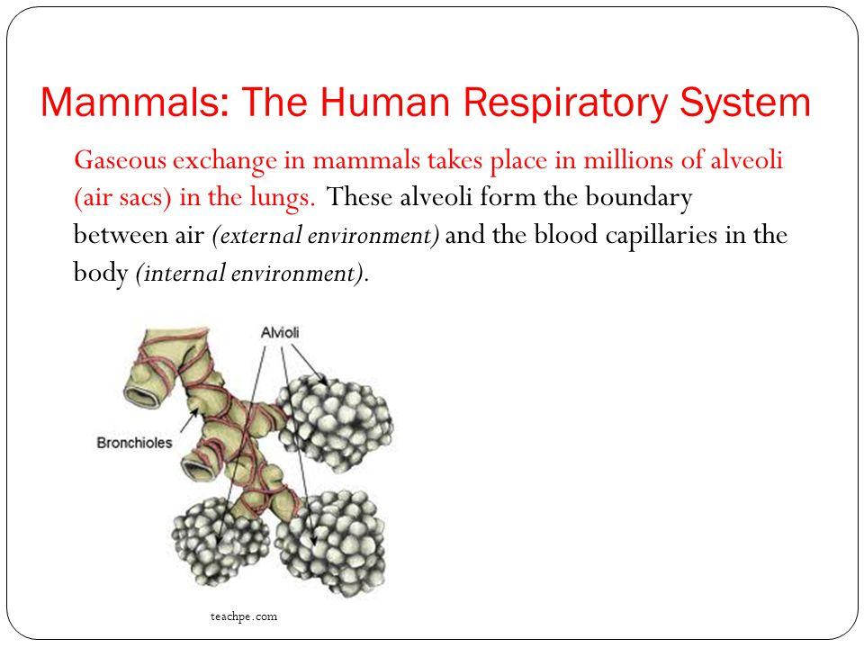Mammals: The Human Respiratory System