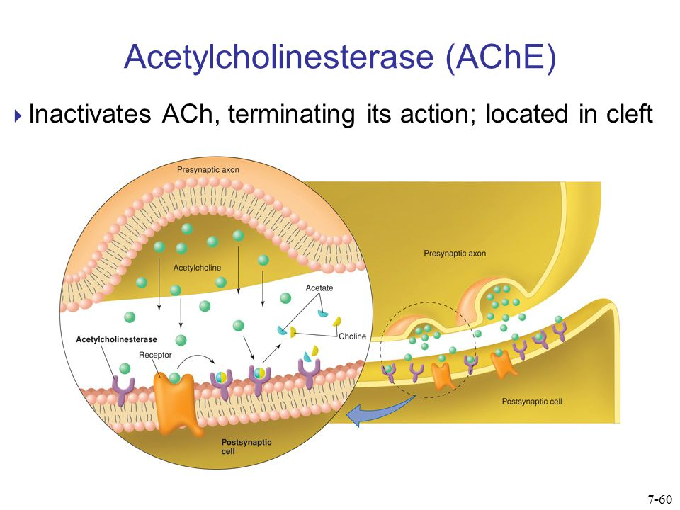 Acetylcholinesterase (AChE)