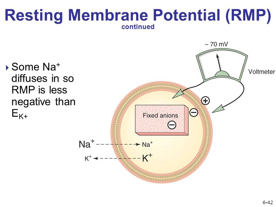 Resting Membrane Potential (RMP) continued