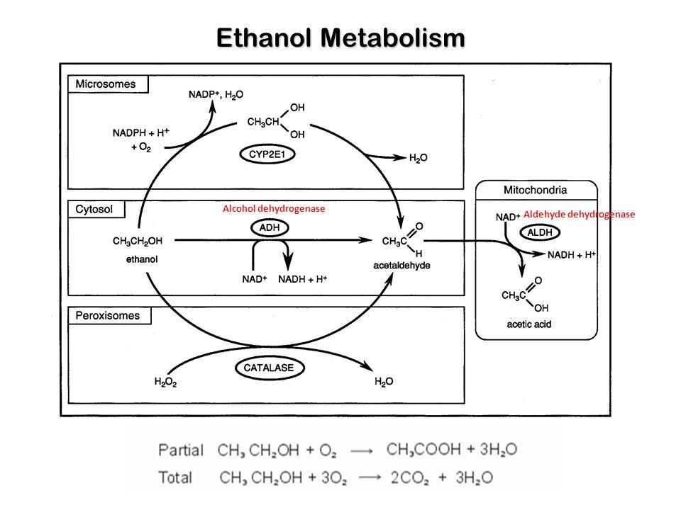 Ethanol Metabolism Alcohol dehydrogenase Aldehyde dehydrogenase