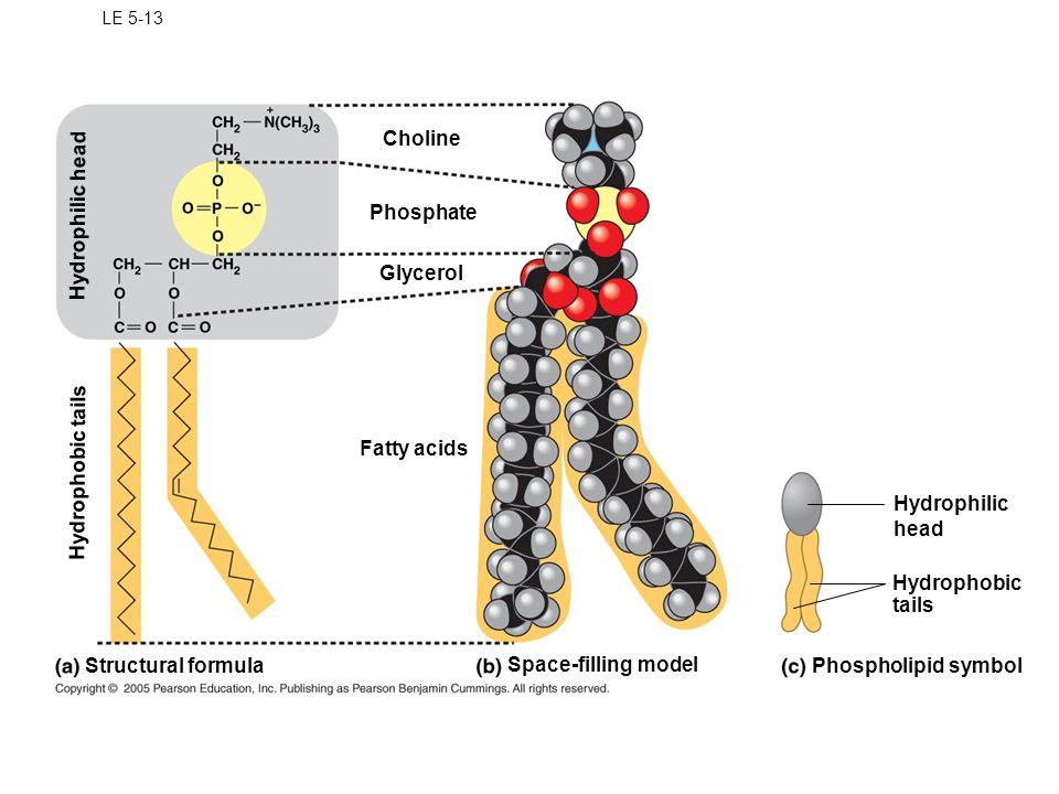 Choline Hydrophilic head Phosphate Glycerol Hydrophobic tails