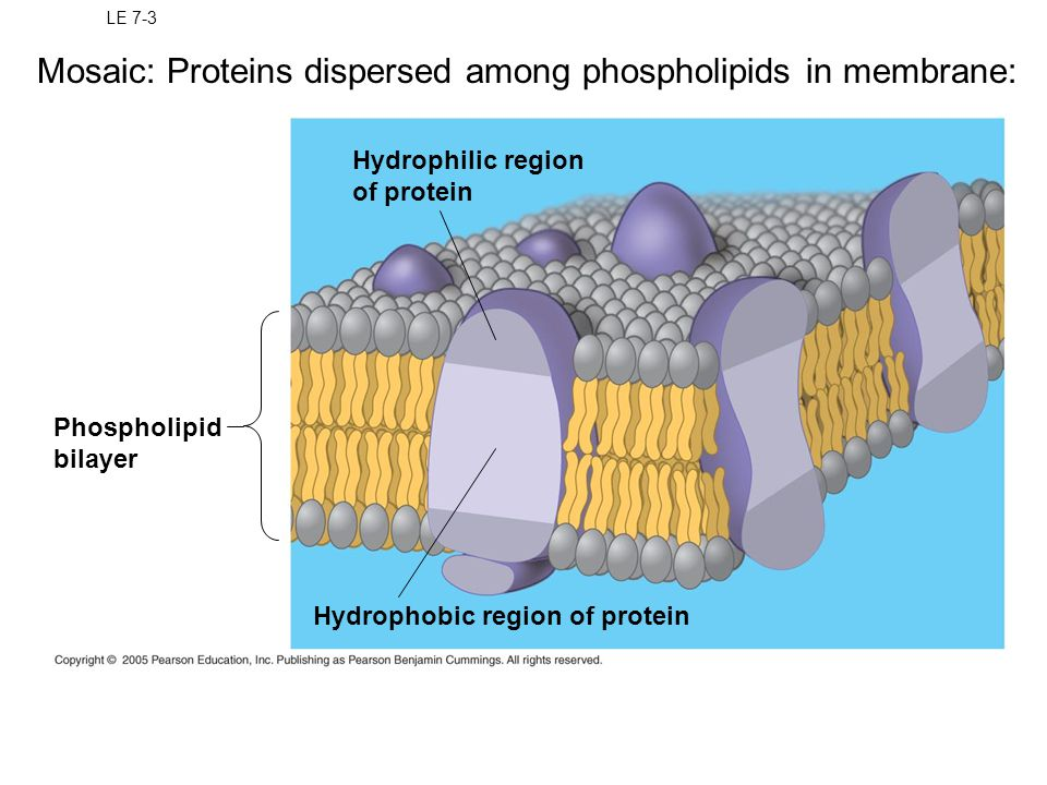 Mosaic: Proteins dispersed among phospholipids in membrane: