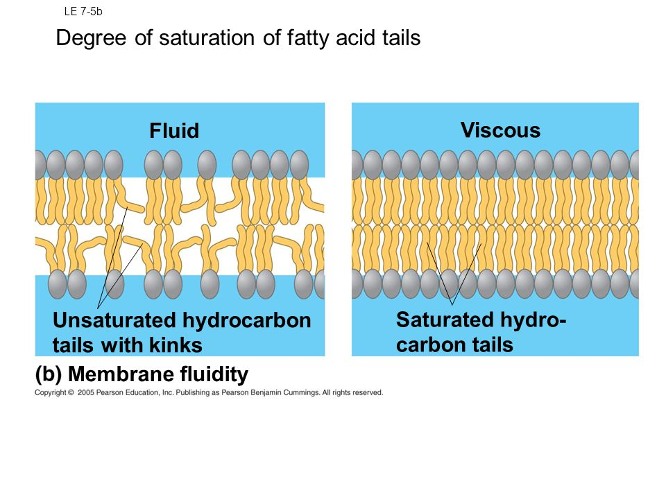 Degree of saturation of fatty acid tails