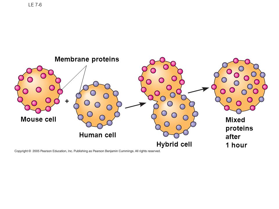 Membrane proteins Mouse cell Mixed proteins after 1 hour Human cell