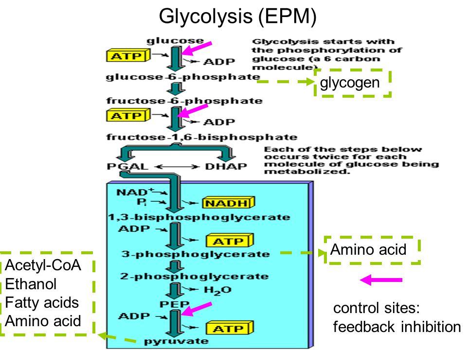 Glycolysis (EPM) glycogen Amino acid Acetyl-CoA Ethanol Fatty acids