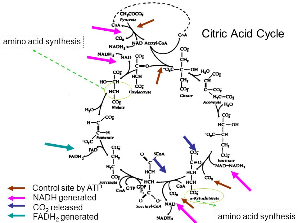 Citric Acid Cycle amino acid synthesis Control site by ATP