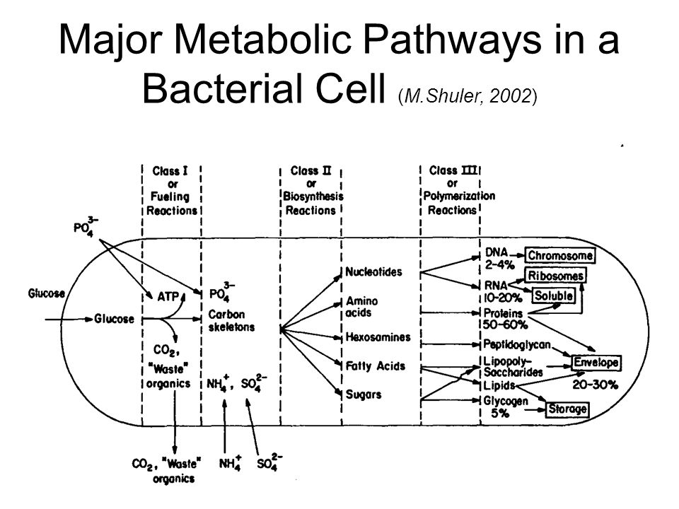 Major Metabolic Pathways in a Bacterial Cell (M.Shuler, 2002)