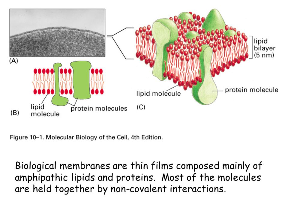 Biological membranes are thin films composed mainly of amphipathic lipids and proteins.