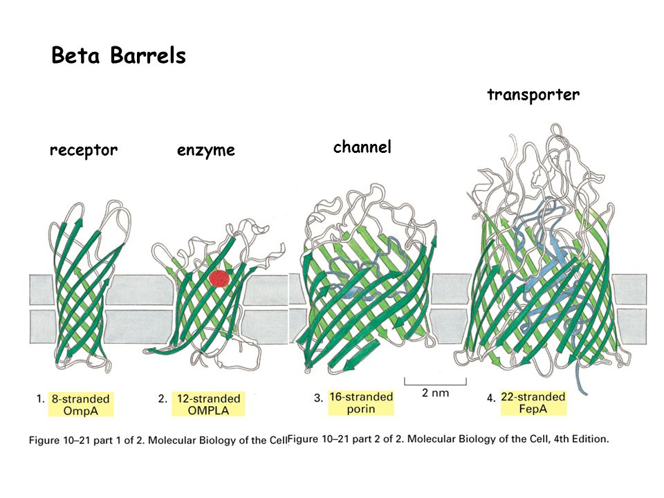 Beta Barrels transporter receptor enzyme channel