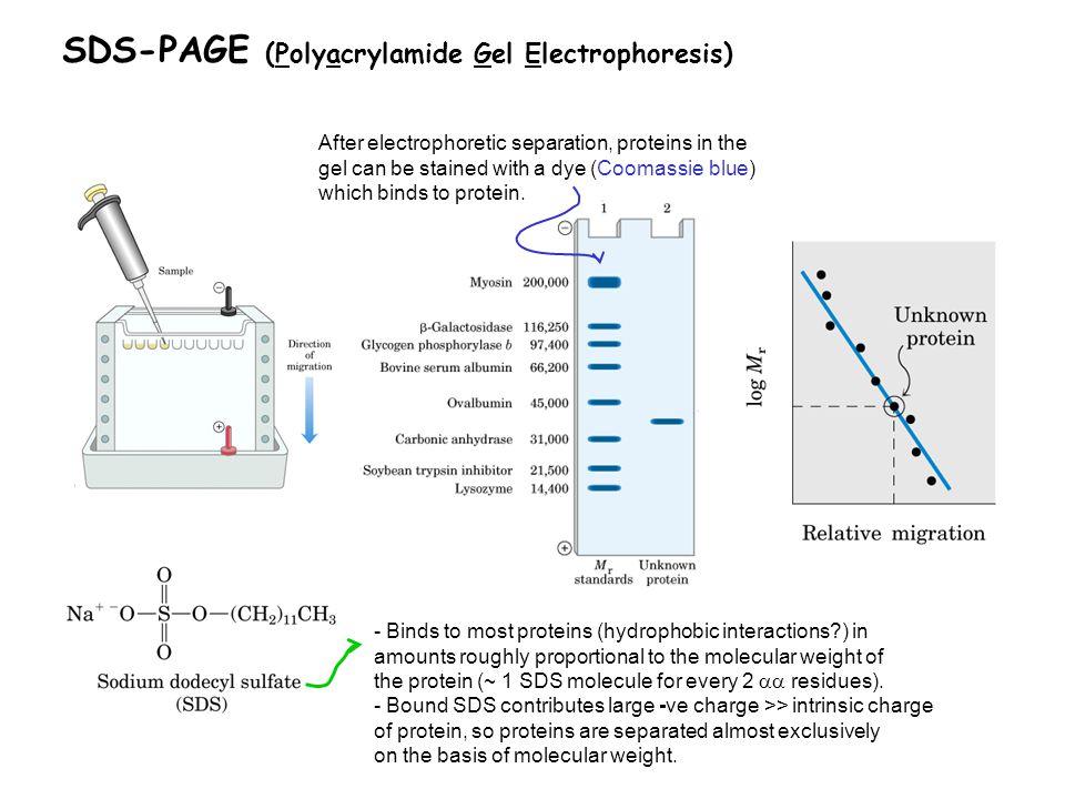 SDS-PAGE (Polyacrylamide Gel Electrophoresis)