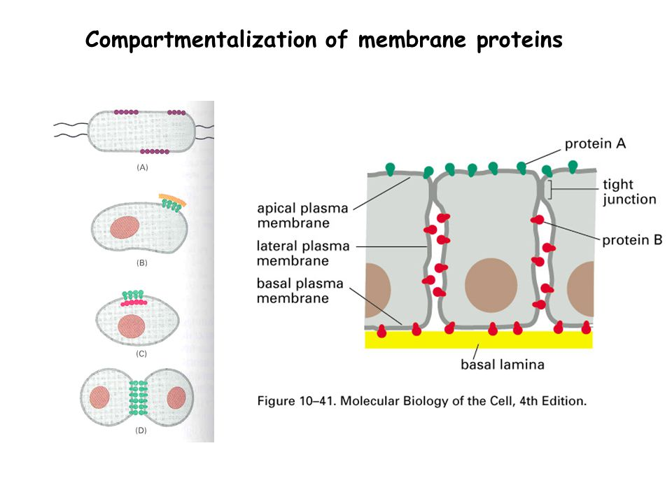 Compartmentalization of membrane proteins
