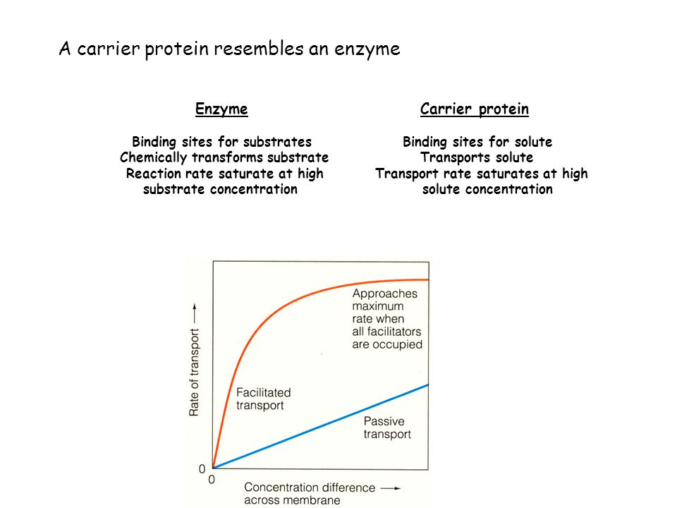 A carrier protein resembles an enzyme