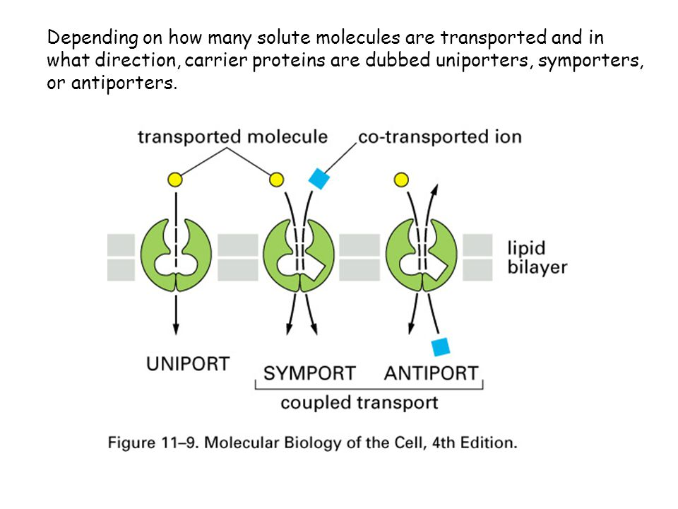 Depending on how many solute molecules are transported and in what direction, carrier proteins are dubbed uniporters, symporters, or antiporters.