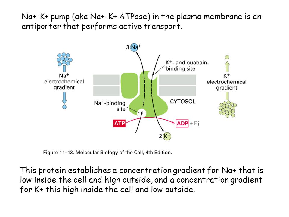 Na+-K+ pump (aka Na+-K+ ATPase) in the plasma membrane is an antiporter that performs active transport.