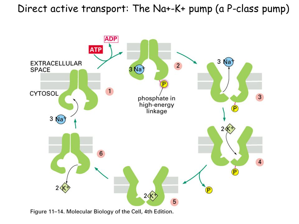 Direct active transport: The Na+-K+ pump (a P-class pump)