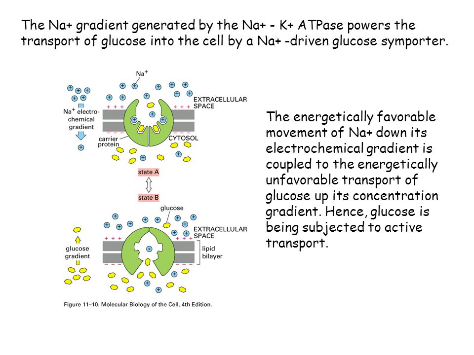 The Na+ gradient generated by the Na+ - K+ ATPase powers the transport of glucose into the cell by a Na+ -driven glucose symporter.