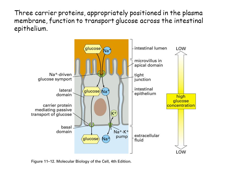 Three carrier proteins, appropriately positioned in the plasma membrane, function to transport glucose across the intestinal epithelium.