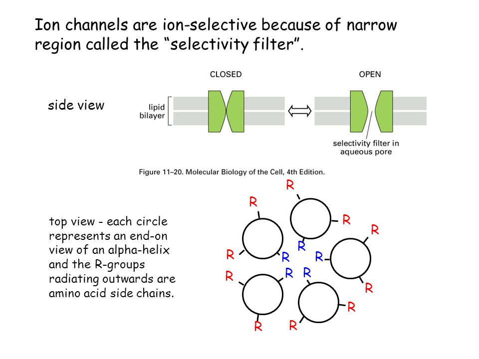 Ion channels are ion-selective because of narrow region called the selectivity filter .