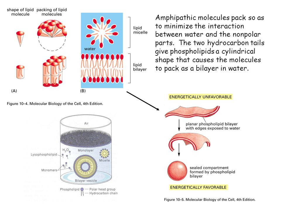 Amphipathic molecules pack so as to minimize the interaction between water and the nonpolar parts.