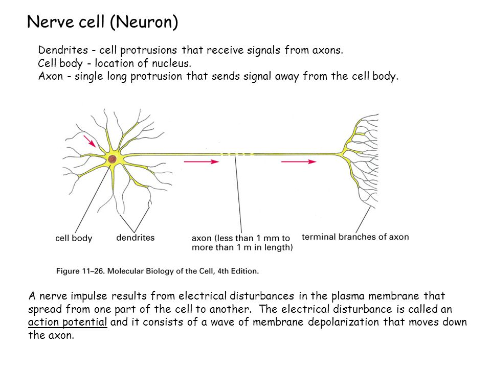Nerve cell (Neuron) Dendrites - cell protrusions that receive signals from axons. Cell body - location of nucleus.