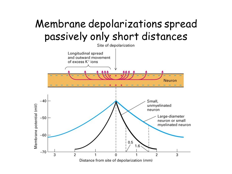 Membrane depolarizations spread passively only short distances