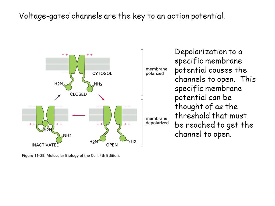 Voltage-gated channels are the key to an action potential.