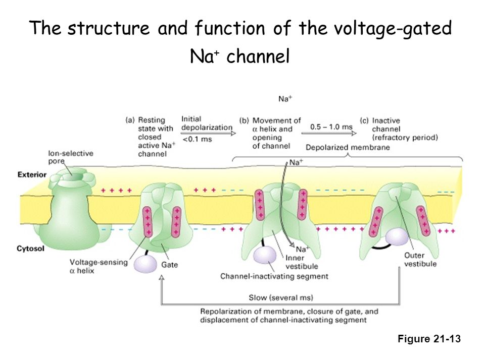 The structure and function of the voltage-gated Na+ channel