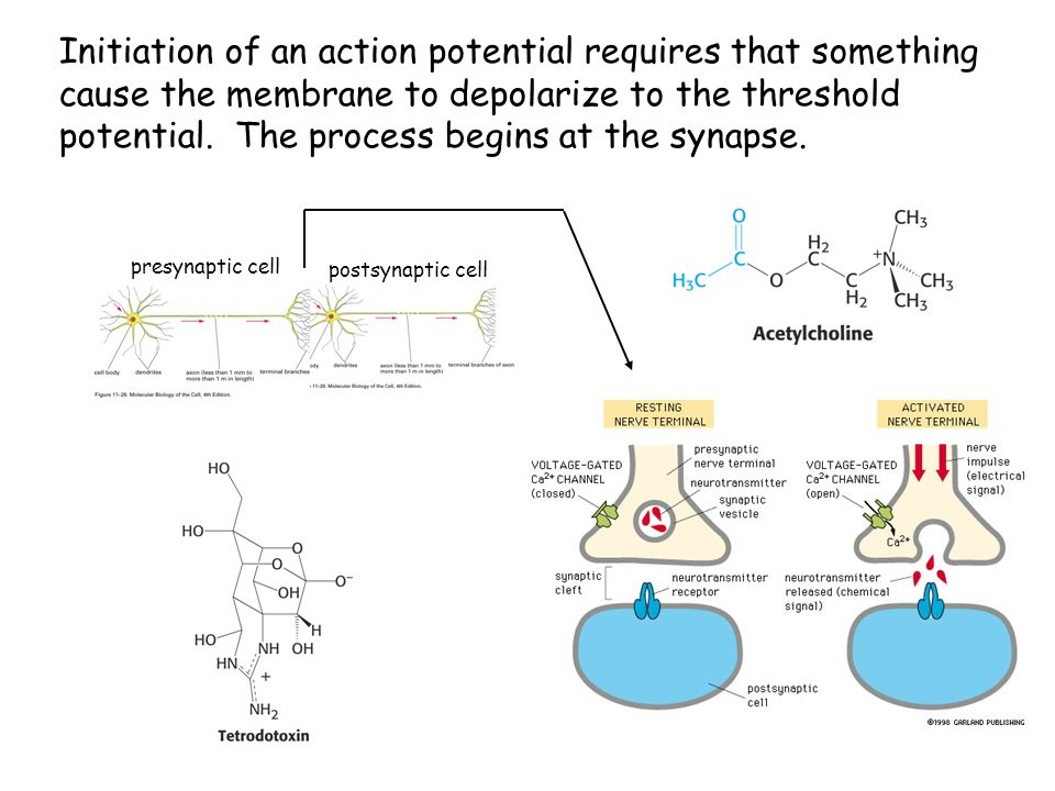 Initiation of an action potential requires that something cause the membrane to depolarize to the threshold potential. The process begins at the synapse.