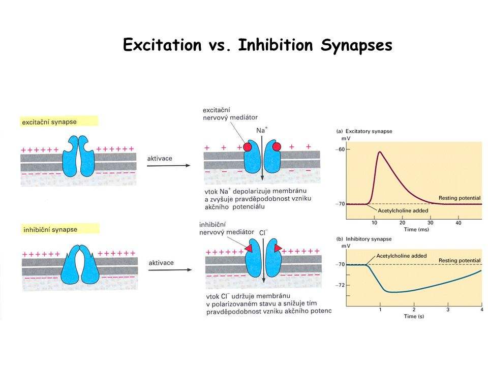 Excitation vs. Inhibition Synapses