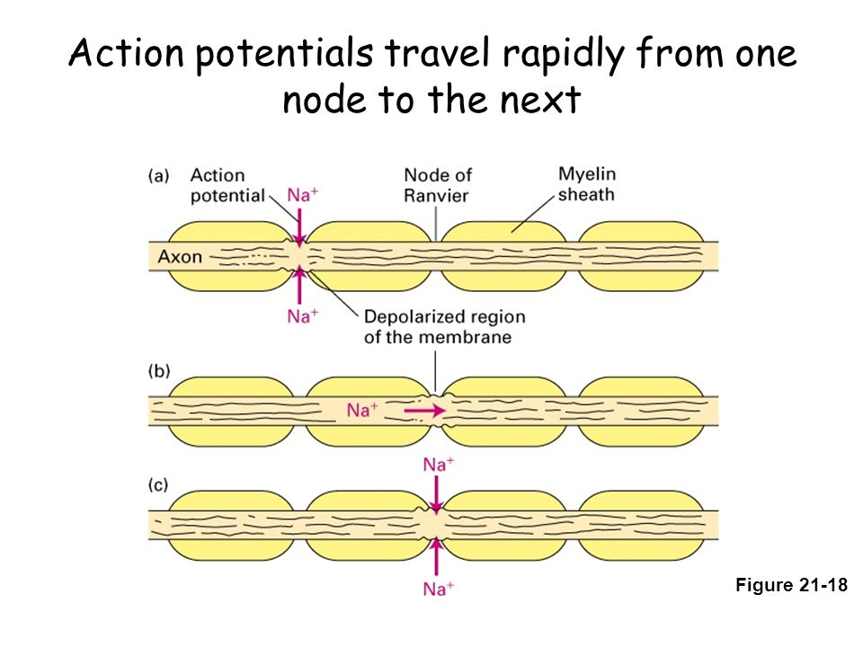 Action potentials travel rapidly from one node to the next