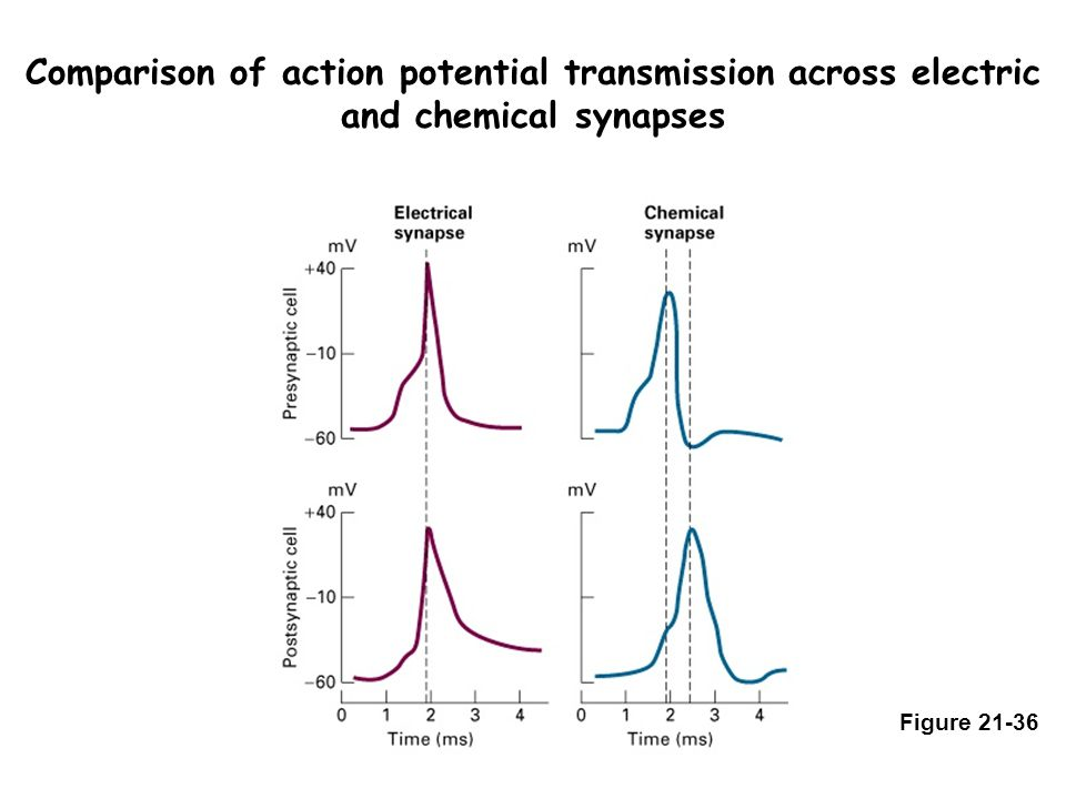 Comparison of action potential transmission across electric and chemical synapses