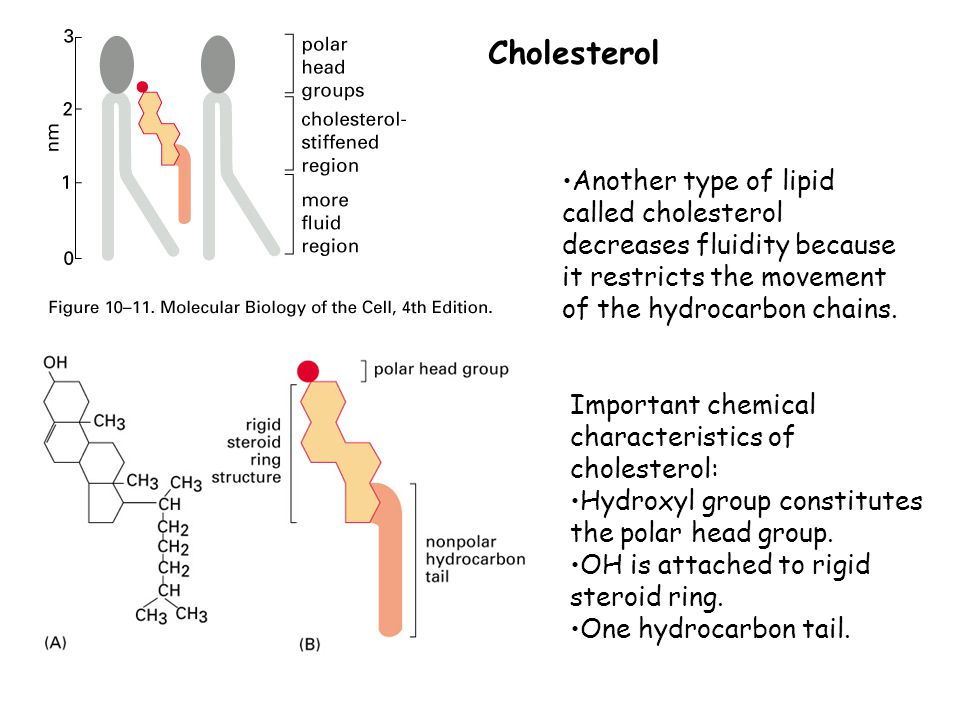 Cholesterol Another type of lipid called cholesterol decreases fluidity because it restricts the movement of the hydrocarbon chains.