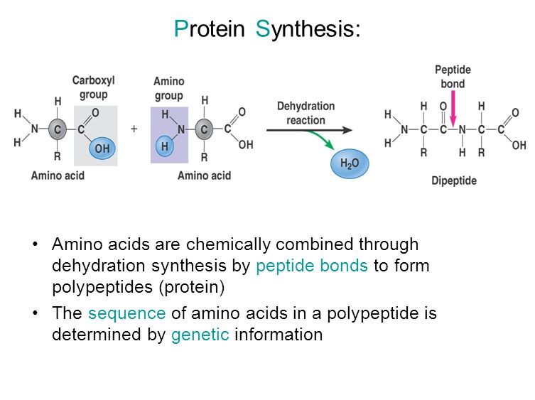 Protein Synthesis: Amino acids are chemically combined through dehydration synthesis by peptide bonds to form polypeptides (protein)