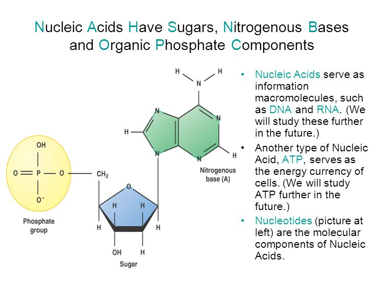 Nucleic Acids Have Sugars, Nitrogenous Bases and Organic Phosphate Components