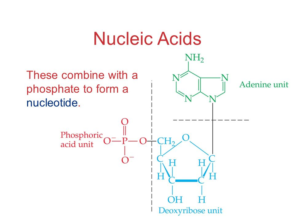 Nucleic Acids These combine with a phosphate to form a nucleotide.