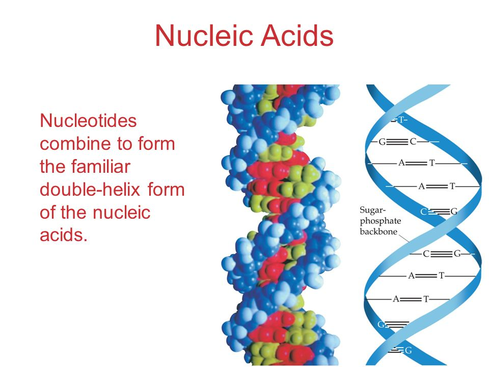 Nucleic Acids Nucleotides combine to form the familiar double-helix form of the nucleic acids.