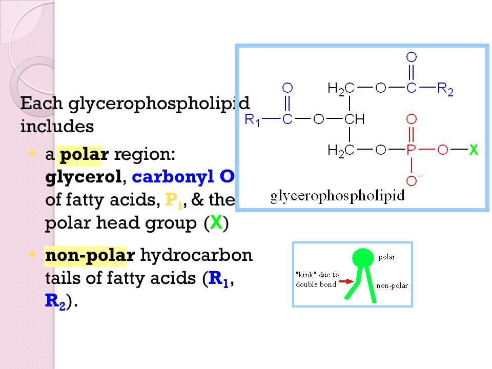 Each glycerophospholipid