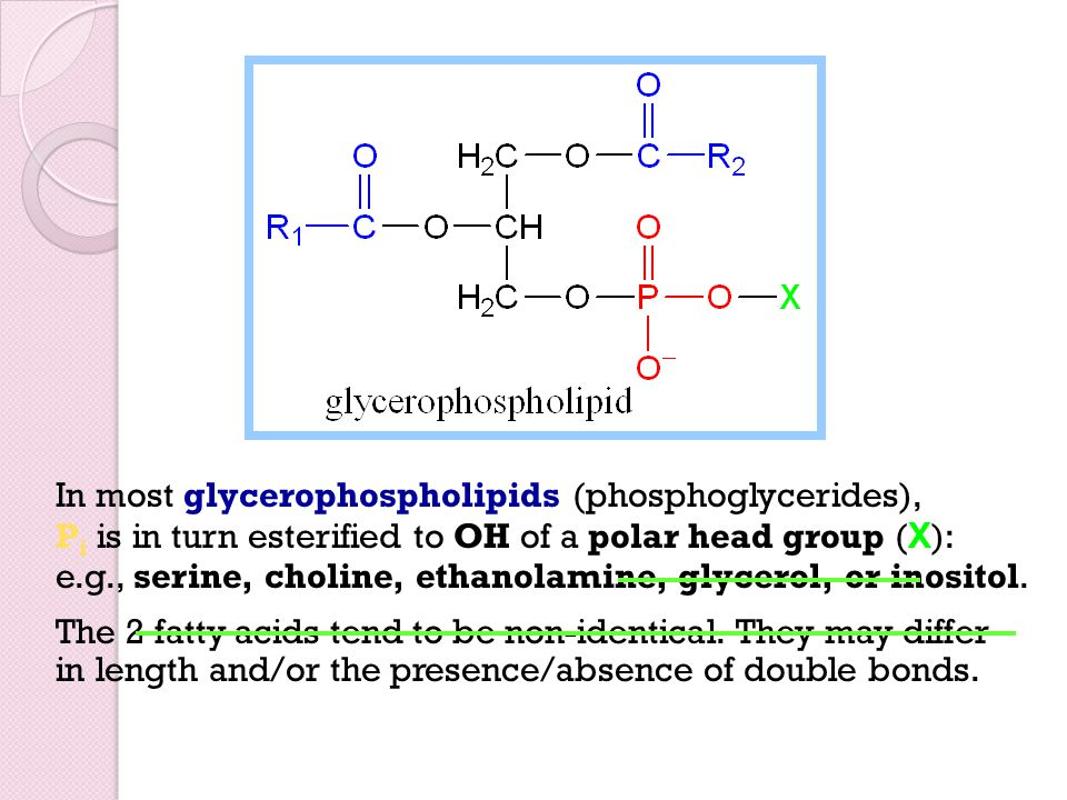 In most glycerophospholipids (phosphoglycerides), Pi is in turn esterified to OH of a polar head group (X): e.g., serine, choline, ethanolamine, glycerol, or inositol.