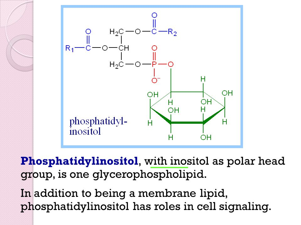 Phosphatidylinositol, with inositol as polar head group, is one glycerophospholipid.