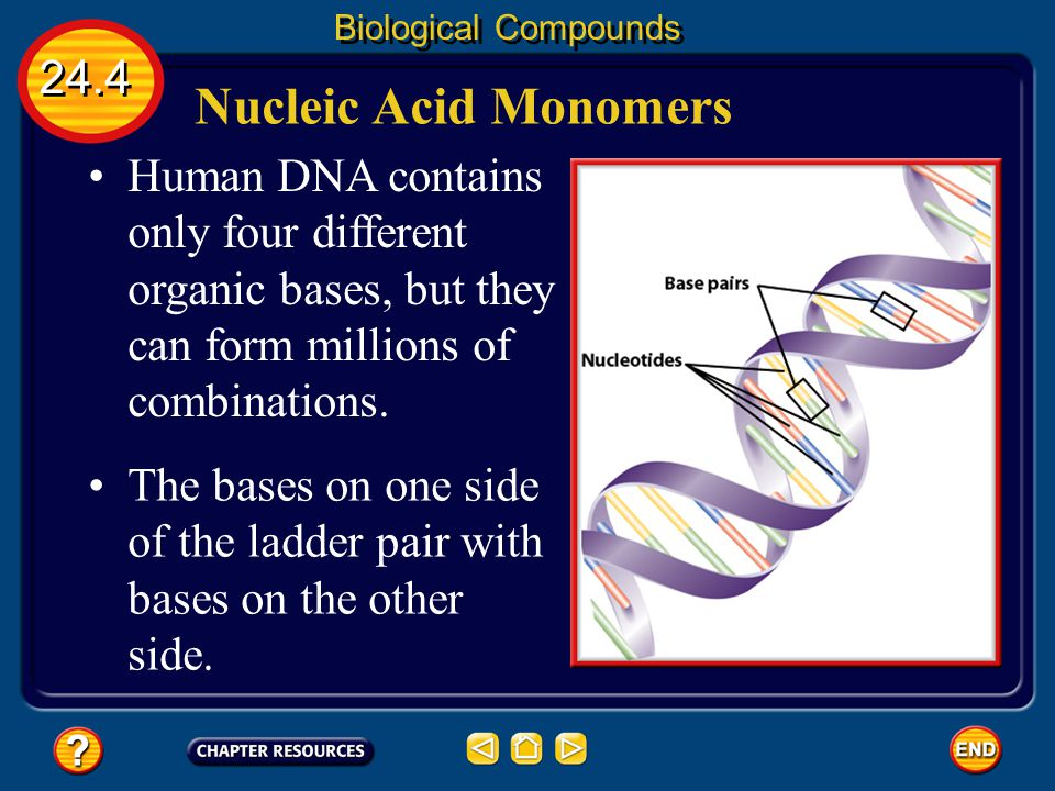 Biological Compounds 24.4. Nucleic Acid Monomers. Human DNA contains only four different organic bases, but they can form millions of combinations.