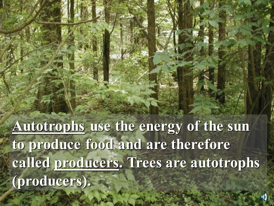 Autotrophs use the energy of the sun to produce food and are therefore called producers.