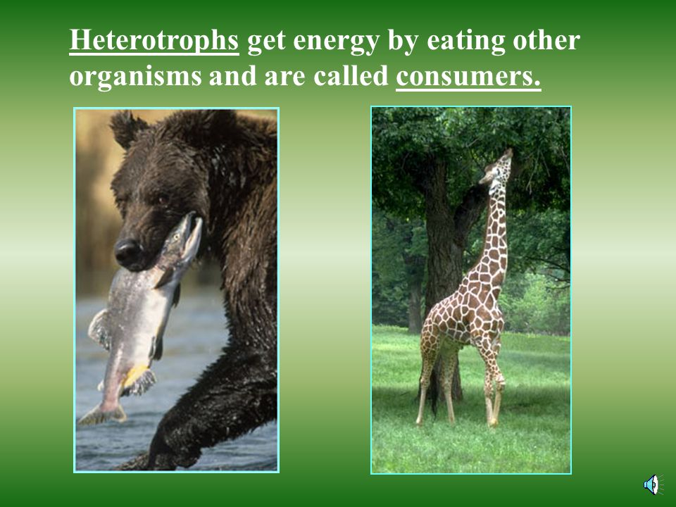 Heterotrophs get energy by eating other organisms and are called consumers.