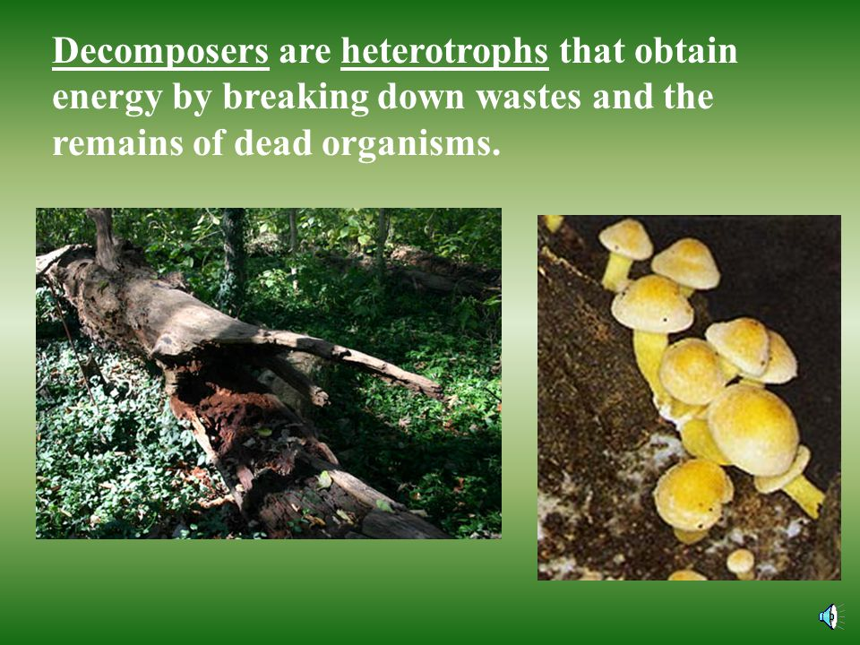Decomposers are heterotrophs that obtain energy by breaking down wastes and the remains of dead organisms.